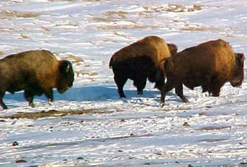 buffalo hunts, south dakota, bison hunts, bison hunting, buffalo hunting