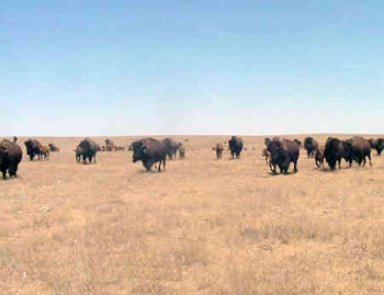 bison hunts, buffalo hunts, buffalo hunting, bison hunting, buffalo hunting guides, bison hunting guides